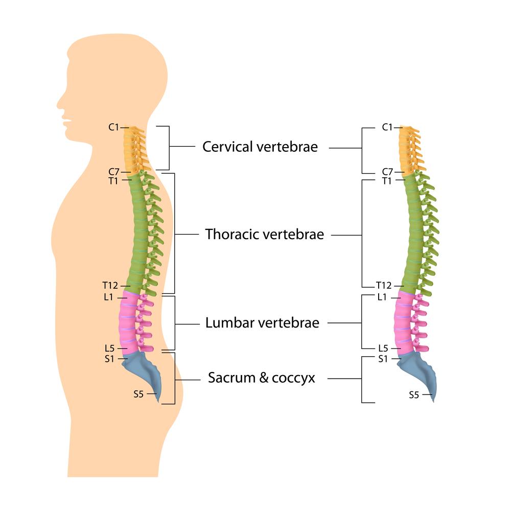 מבנה עמוד השידרה בחלוקה לפי חוליות