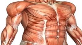 תרשים השרירים בגופו של אדם בוגר