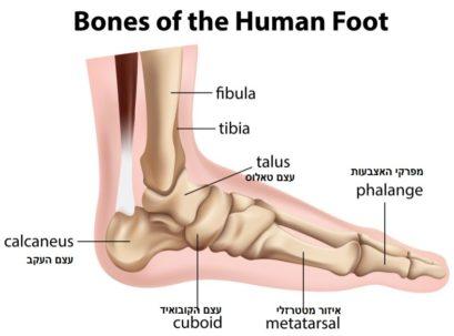 מבנה עצמות כף הרגל